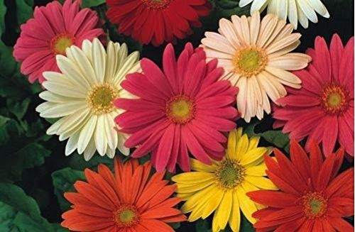 """Gerbera jamesonii, Gerbera daisy.  6-24"""" high x 12-24"""" spread.  Full sun, part sun.  Blooms spring and fall.  Red, pink, yellow, orange, salmon and white flowers."""