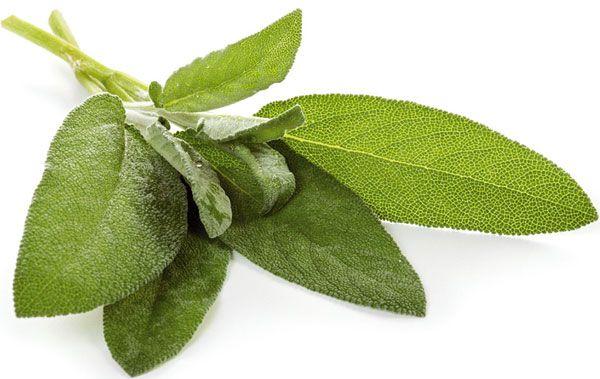 Šalvia lekárska (Salvia officinalis) Využitie  Šalvia má silnú korenistú vôňu a horkastú chuť, preto sa s ňou musí koreniť opatrnejšie. Najčastejšie sa používajú čerstvé listy, na sušenie sa zbierajú pred kvetom. Kvet sa často používa na zdobenie jedál, šalátov a múčnikov. Pre výraznú chuť i vôňu stačí použiť pri korenení jedál na jednu porciu len jeden až dva lístky. Korenia sa ňou všetky druhy mäsa, ale najchutnejšie sú ňou korenené ryby, baranina a hydina, vhodná je aj do plniek, omáčok…