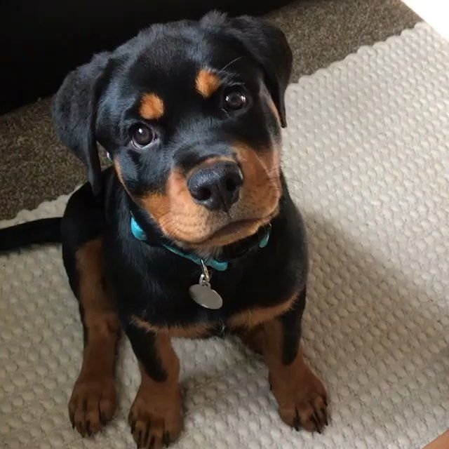 Rottweiler Community On Instagram Puppy Dog Eyes In Action