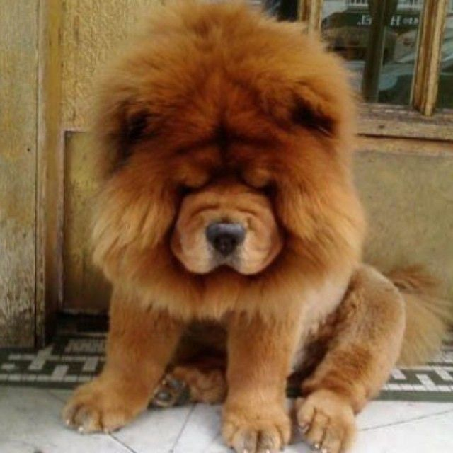 Best Chow Chows Images On Pinterest Puppies Beautiful And - This instagram chow chow looks like a fluffy potato and its so cute it doesnt even look real