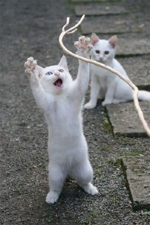 \ Wowza! Cord to plays wif!\ OTHER KITTEN: \ I iz gonna getz de other end and he'z gonna trips de light fantastic.\