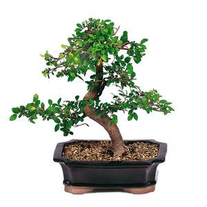 Chinese Elm Small