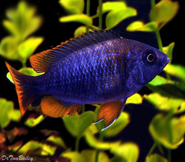 Hap borleyi cichlid cichlids pinterest cichlids red for African cichlid fish