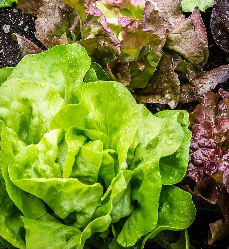 Le lattughe sono piante della famiglia delle composite, sono molto diffuse negli orti famigliari. Si tratta di un'insalata che si coltiva come pianta annuale, evitando che vada in seme, per raccogliere le foglie quando sono ancora tenere, buone da mangiare crude.    Sono diverse le varietà di