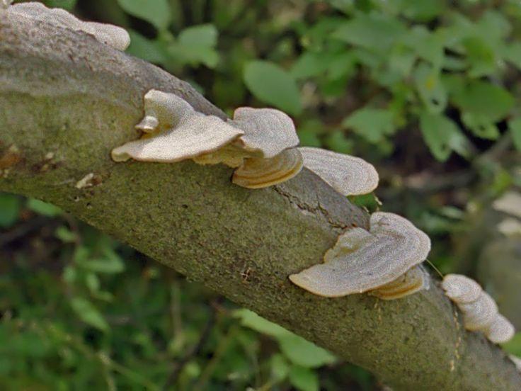 https://flic.kr/p/dDKnG2 | Polyporaceae - Trametes sp..-1 | Polyporaceae - Trametes sp.