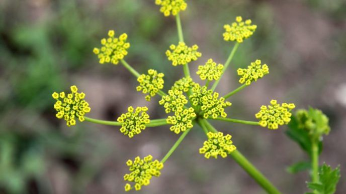 Close_up_flowers_garden_leaves_parsnip_pastinaca_sativa_yellow 1353869.jpgd_.jpg