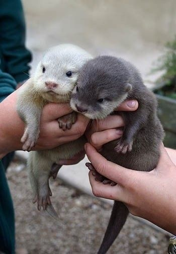 Otters #Cute