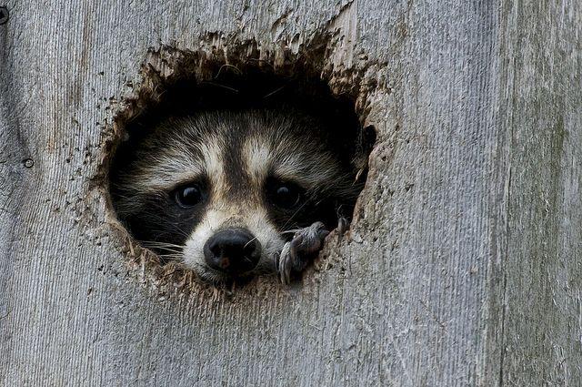 .Hello, Animal Planets, Critter, Animal Kingdom, Peek A Boos, Raccoons, Peekaboo, Animal Creatures, Animal Photos