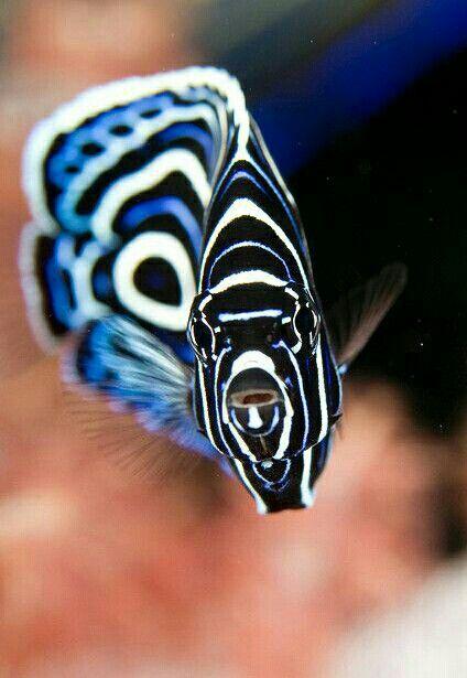 Pez ángel emperador juvenil... Este pez muy famoso y conocido tanto por no buceadores como buzos. Sin embargo la mayoría de ellos no saben la diferencia entre los juveniles y los adultos de esta especie. Los juveniles son de los más fascinantes peces en las aguas. Son de color azul oscuro con anillos eléctricos azules y blancos, los adultos tienen rayas amarillas y azules, con negro alrededor de los ojos. Un pez ángel emperador tarda unos cuatro años para adquirir su coloración adulta. M.G.
