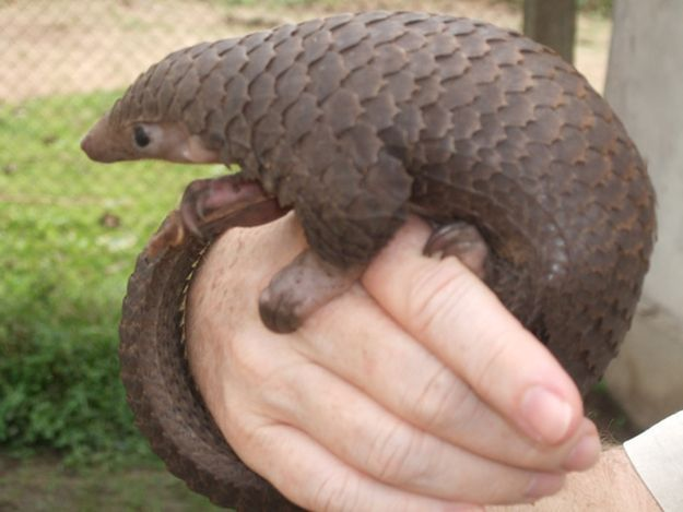 Baby Pangolin---Pangolins are scaly anteaters who like curling up into balls eating ants and termites and -- when they're babies -- riding around on their mom's tail.
