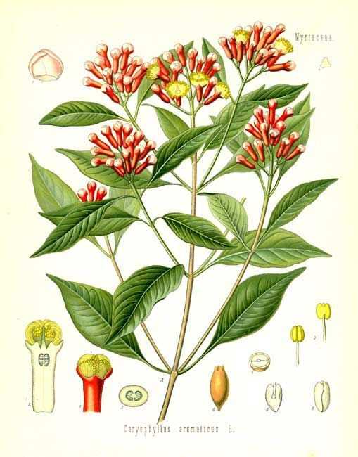 Syzygium aromaticum / Cengkeh