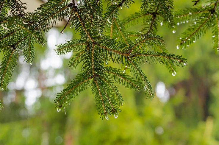 Rain - Pine branch on a rainy day
