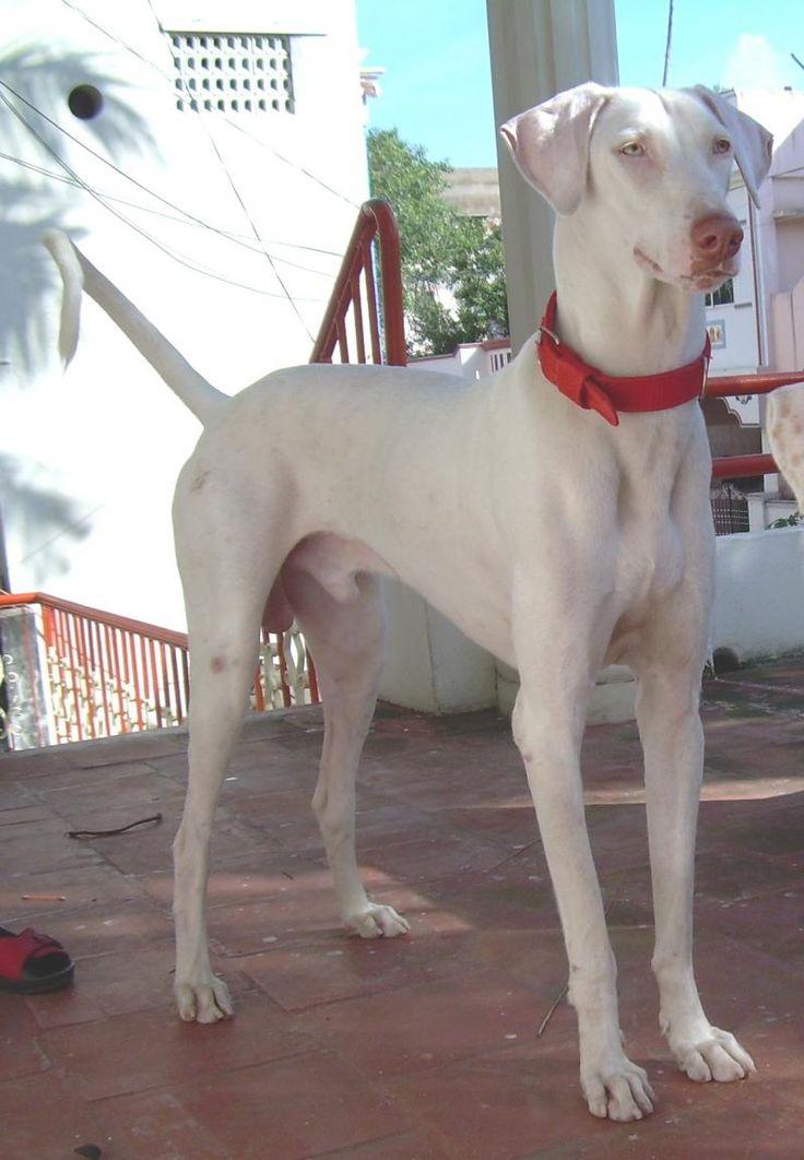 Rajapalayam, Zuid-India. Meestal melk-wit met gouden ogen en een roze neus, ook andere kleuren en gevlekt. via windhondenforum.nl