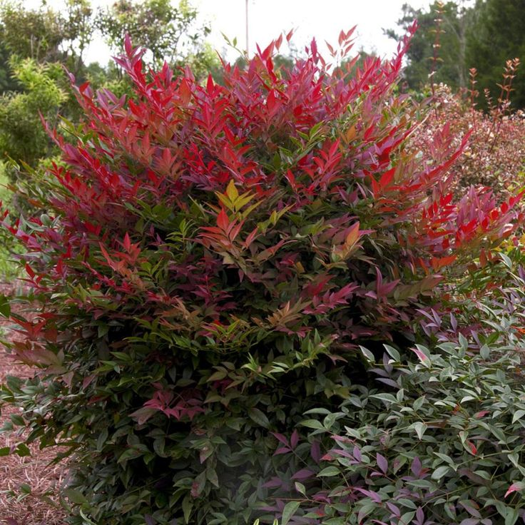 Southern Living Plant Collection 2 Gal. Obsession Nandina