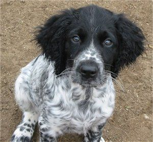 """Manitou's Badinage call name: """"Monti"""", a Large Munsterlander puppy at 3 months old"""