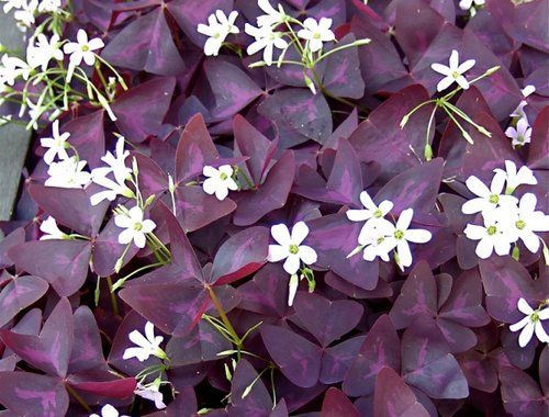 "PURPLE SHAMROCK (Oxalis triangularis): 1) House plant or outdoors until frost 2) Ground  cover with small flowers and clover-like leaves. Its triangular-shaped leaves fold along the vein and look like butterflies 3) Bulbs spaced 3"" apart and 1 to 2"" inches deep 4) Leaves are light sensitive, opening to receive sunlight and closing at night or when under shade"