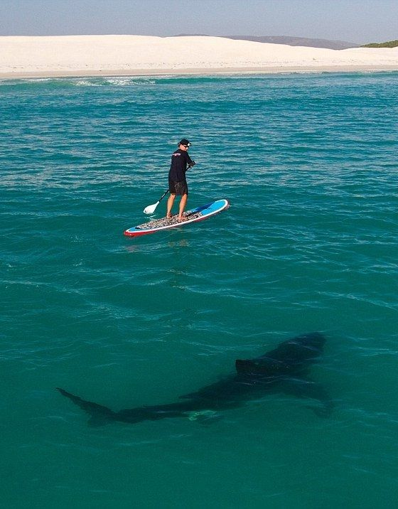 Paddle boarding with great white sharks - a really stupid idea