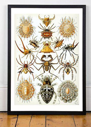 Haeckel Arachnida, 1904 ( Ernst Haeckel, 1834-1919)