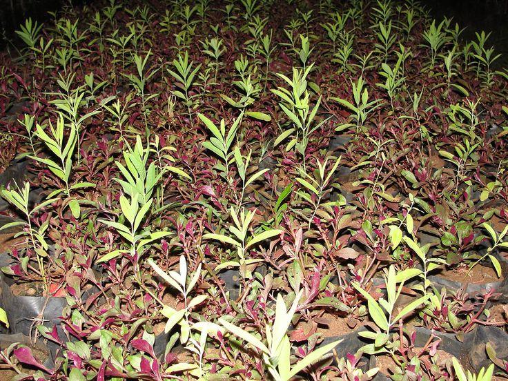 Sandalwood [ Santalum album ] saplings
