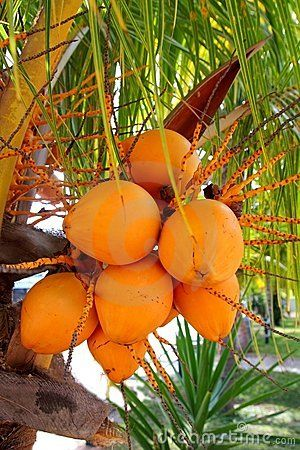 Coconuts in palm tree ripe yellow fruit by Lunamarina, via Dreamstime