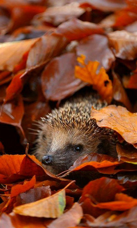 Hedgehog Under Leaves.. (Edwin Kats - Photography)