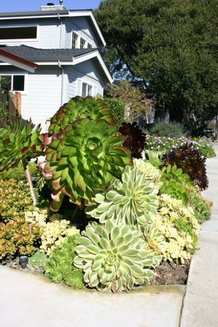 aeoniums. That is the most beautiful garden ever!!