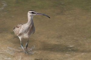 An emaciated and famished Whimbrel arrives safely to a wetland in Saint Martin, after flying thousands of miles from its breeding grounds in...