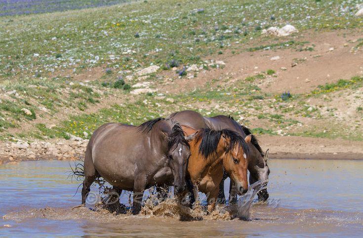 Wild mustangs in waterhole in Montana