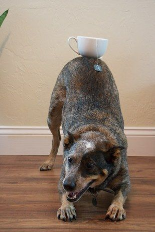 Jack the Australian cattle dog, who was balancing things on his butt way before Kim Kardashian was. | 38 Dogs Who Won 2014