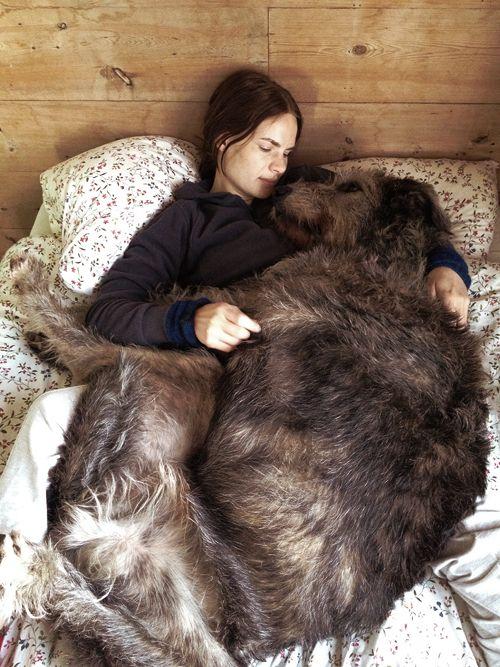 livet mitt har plass til all verdens hunder, men i første omgang blir det irsk ulvehund (bildet), dalmatiner og husky. eventuelt dalmatiner, og så får jeg skaffe husky og ulv på gården om... senere.