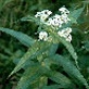 """3) Eupatorium Perfoliatum (Boneset), an herb traditionally used by Native Americans, who called it """"Ague Weed,"""" now commonly called boneset. It's a great remedy for treating the symptoms of influenza, and helpful for treating aches and pains and fever. Occasional use of boneset leaves brewed as tea helps detoxify the body, removing excess uric acid. It also acts as to expulse other toxins. In a survival instance, this herb can mean the difference between life and death in high fever or…"""