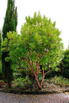 Tree Identification: Arbutus 'Marina - Hybrid Strawberry Tree