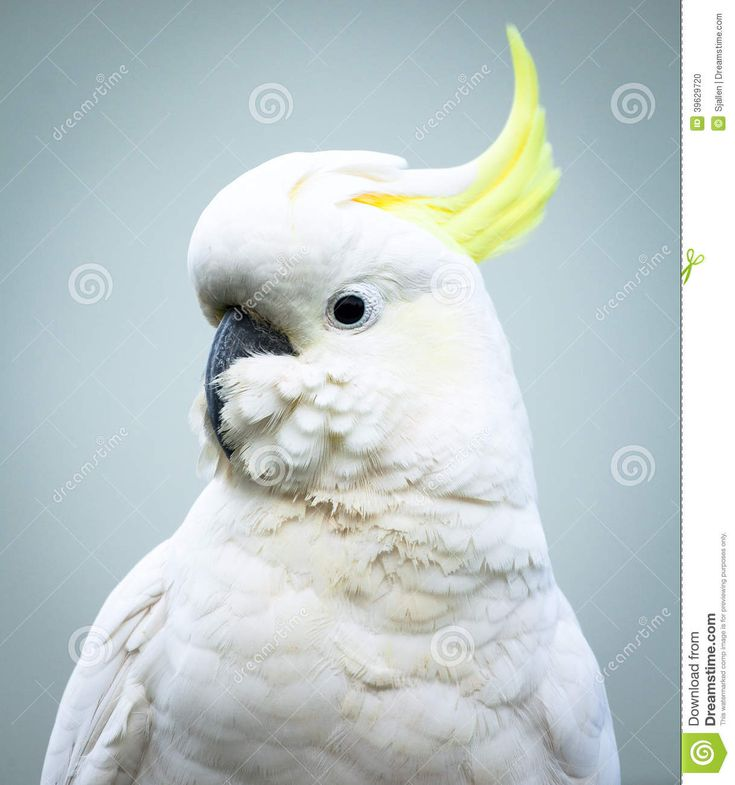 Sulphur-Crested Cockatoo Head and Shoulders