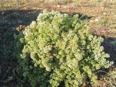 ΠΡΕΠΕΙ να φυτέψεις ρίγανη στη γλάστρα. ΔΕΙΤΕ ΤΟΝ ΛΟΓΟ!  Πηγή: diadrastiko: ΠΡΕΠΕΙ να φυτέψεις ρίγανη στη γλάστρα.  Σύμφωνα με τον Γαληνό, τον φημισμένο Έλληνα γιατρό της ρωμαϊκής αυτοκρατορίας, η χλωρή (και όχι η ξερή) ρίγανη συγκαταλέγεται στα βότανα που λεπταίνουν και δυναμώνουν το σώμα.  Νοστιμίζει πολλά ελληνικά φαγητά (φρέσκια ή ξερή) – και όχι μόνο τη χωριάτικη σαλάτα.  Εξολοθρεύει τα παράσιτα του εντέρου Είναι αντικαρκινογόνο βότανο. Περιέχει φυτοοιστρογόνα,