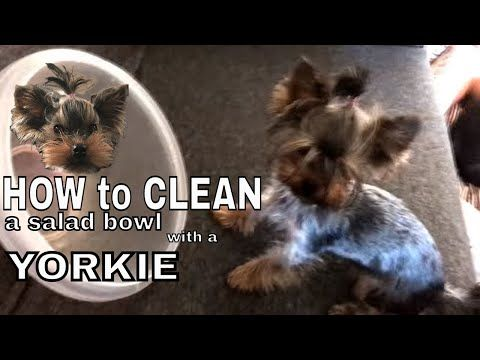 Go ahead and hit play ▶️ How to clean a salad bowl with a yorkie in 30sec - Rozalia Posada funniest way https://youtube.com/watch?v=qq6vSrlEESc