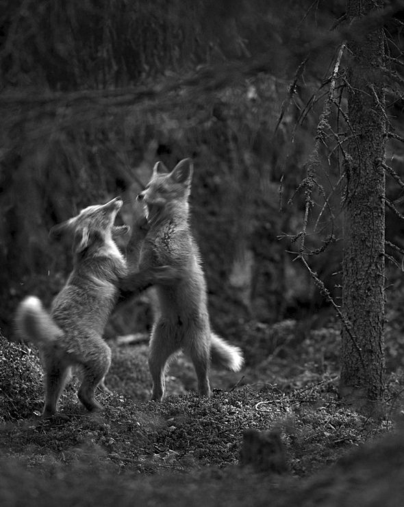 Kohtaamisia ('Encounters') by Mats Andersson and Heikki Willamo / Fox cubs, Finland. Photo: Heikki Willamo.