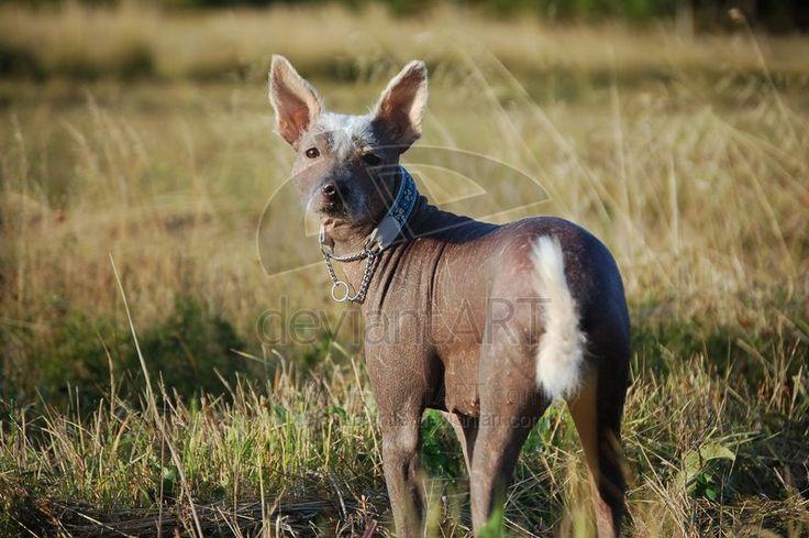 Xolo Dog Rescue