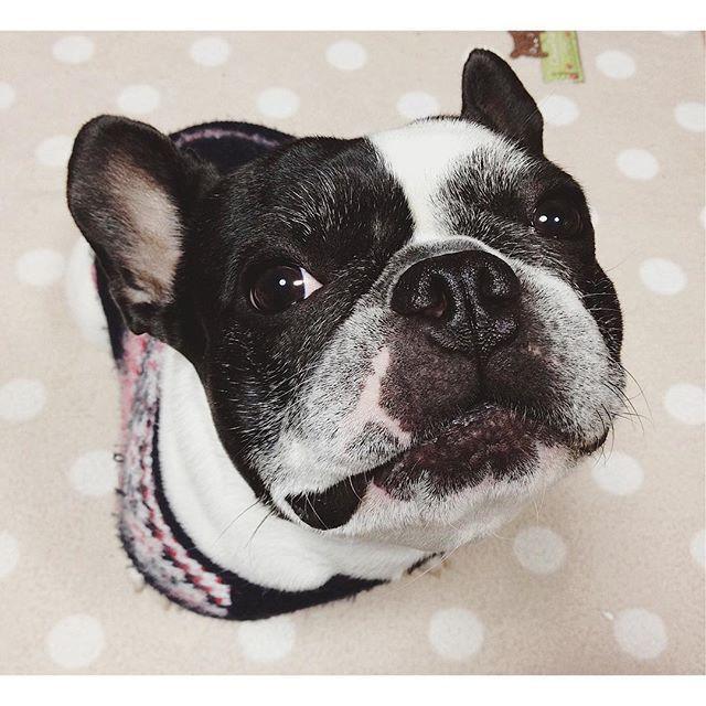 小鉄 . ブブゥーーブブゥーー . #dog #dogstagram #photo #写真 #愛犬 #frenchbulldogsofinstagram #フレンチブルドッグ #フレンチブル #ブヒ #japan #犬写真 #photography #buhi #パイド