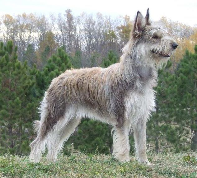 Meet The Picard Berger Picard Club Of America Dog Breeds