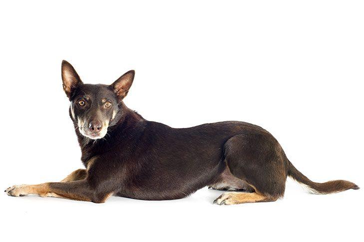 Working Kelpie Dog Breed Information Dog Breeds Akc Dog Breeds Akc Breeds