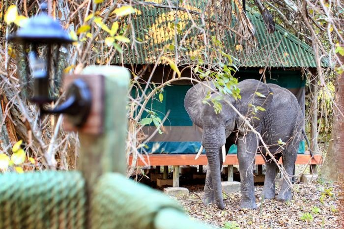 Freddie, our resident #elephant | Holidays in Tanzania | Mbali Mbali Lodges and Camps