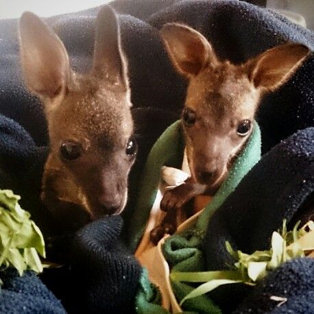 Young love xxx Our orphaned Bennetts wallaby joey has found a new girlfriend. Now they can keep eachother warm.
