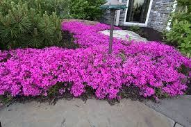 Perennial, Creeping Phlox, Pink, Stolonifera Home Fires