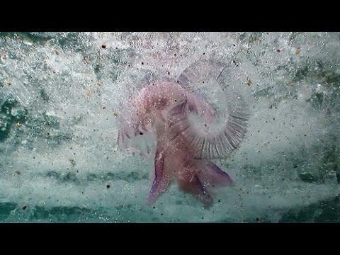 El plancton gelatinoso son masas gelatinosas que aparece flotando en el mar, cerca de la costa. Esta formado por diversos tipos de invertebrados, entre ellos salpas, ctenóforos, medusas y sifonóforos.