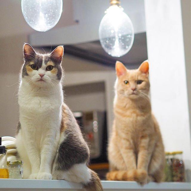 テレビ観てたら できるだけ高い位置で静かにこっちを見てくる…😀 目が合えば最後。ご飯係決定 #猫 #ねこ部 #ふわもこ部#ペコねこ部 #ネコ #ネコ部 #cat #cats #catstagram  #ilovemycat #instagramcats #catlover  #みけねこ #茶トラ #茶トラ男子部 #ふわもこ部 #ペルシャ  #ダイリュートキャリコ #calico #クリームタビー #三毛猫 #多頭飼い#みんねこ#クリーム猫部 #フェリシモ猫部
