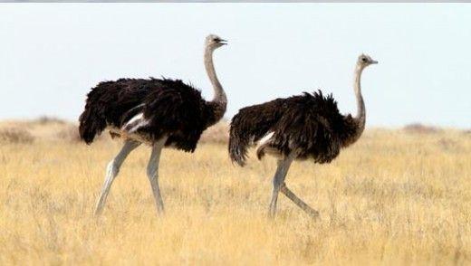 The Ostriches Animals Ostriches Big Bird