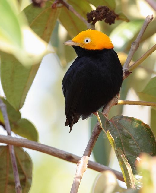 Foto cabeça-de-ouro (Ceratopipra erythrocephala) por Anselmo d`Affonseca | Wiki Aves - A Enciclopédia das Aves do Brasil