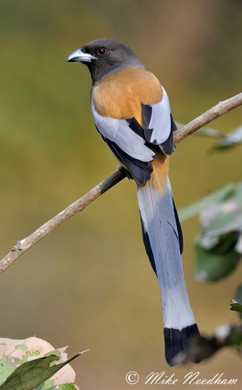 233 Best Birds Corvids Treepies And Magpies Images On Pinterest