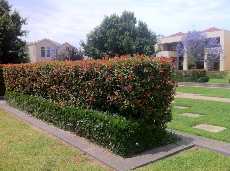 Backyard gardens ideas - Mature Lilly Pilly Hedge At Mawson Lakes Taken 07 11 2013 Plant