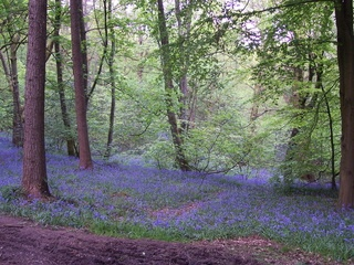 Lickey Hills, Birmingham. Grew up running through these woods. Best time of the year is when the bluebells are out. Beautiful.